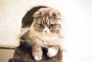 ScottishFold02